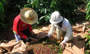 Xuất khẩu cà phê chịu nhiều áp lực
