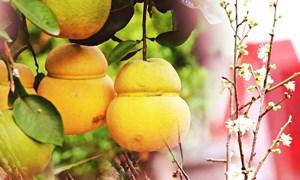 [Video] Săn hoa mơ rừng, bưởi bonsai hồ lô tiền triệu chơi Tết Canh Tý