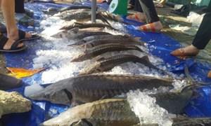 Kiểm soát chặt chẽ các lô hàng cá tầm nhập khẩu vào Việt Nam