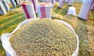 Giá gạo nguyên liệu có xu hướng giảm mạnh