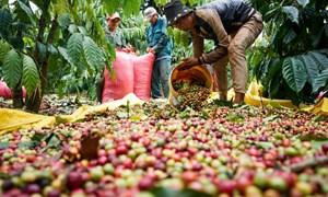 Giá cà phê ngày 21/5: Sụt giảm nhẹ tại nhiều địa phương