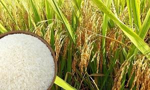 Giá gạo nội địa trái chiều, giá xuất khẩu quay đầu giảm nhẹ ngày 10/6