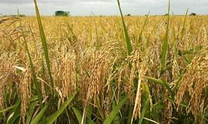 Cuối tuần, giá lúa gạo đi ngang