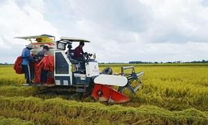 Ngày 25/6, giá gạo nội địa và xuất khẩu đồng loạt giảm