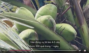 [Video] Kiếm gần triệu đồng mỗi ngày trong đợt nắng nóng nhờ trèo dừa