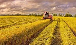 Giá lúa gạo hôm nay 12/7: Giao dịch trầm lắng, nhiều kho ngưng mua