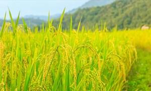 Giá lúa gạo hôm nay 27/7: Giá lúa đồng loạt giảm mạnh