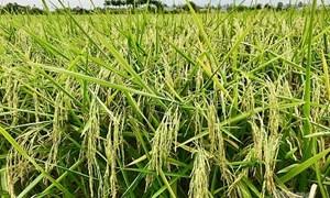 Giá lúa gạo hôm nay 28/7: Giá lúa OM 5451 giảm 100 đồng