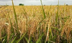 Giá lúa gạo hôm nay 29/7: Giá lúa tăng, giá gạo giảm