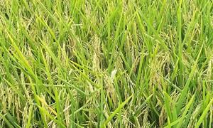 Giá lúa gạo hôm nay 30/7: Giá lúa đi ngang, giá phụ phẩm tăng nhẹ