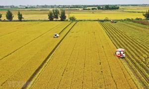 Giá lúa gạo hôm nay 2/8: Giá lúa đồng loạt giảm sâu