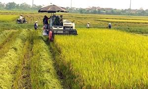 Giá lúa gạo hôm nay 4/8: Giá gạo giảm mạnh