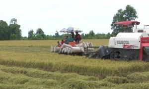 Giá lúa ở mức thấp, giá gạo xu hướng tăng