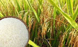 Giá lúa gạo đầu tuần ổn định