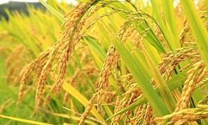 Giá lúa gạo xu hướng tăng