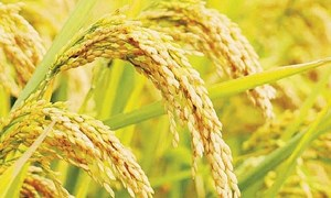 Giá lúa nhích tăng, giá gạo đi ngang