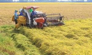 Giá lúa Thu đông thu hoạch sớm giảm