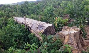 [Video] Rừng đầu nguồn bị chặt phá