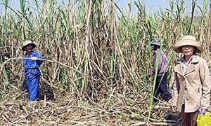 Công ty Cổ phần đường Kon Tum: Đề cao lợi ích người trồng mía
