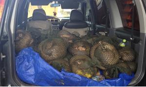 Hải quan Quảng Ninh: Bắt giữ 487 kg cá thể Tê tê nhập lậu