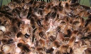 Hải quan Quảng Ninh: Tiếp tục bắt giữ hơn 10.000 con gia cầm giống nhập lậu