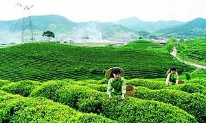 Tập trung phát triển vùng chè bền vững tại Phú Thọ