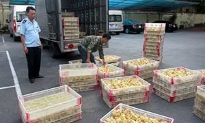 Hải quan Quảng Ninh: Bắt giữ 15.750 con gà giống Trung Quốc nhập lậu