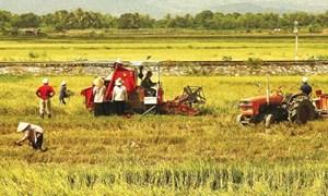 Năm 2015: Cả nước ước đạt hơn 45 triệu tấn lúa