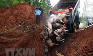 Bùng phát mạnh bệnh Dịch tả lợn châu Phi tại tỉnh Hà Nam