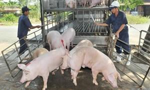 Giá lợn hơi giữ ở mức cao, thương lái nỗ nặng
