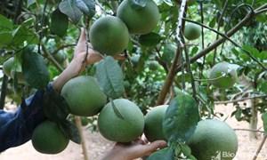 Đánh giá hiệu quả kinh tế của cây bưởi tại huyện Bắc Sơn, tỉnh Lạng Sơn