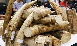 Từ năm 2021 - Singapore cấm buôn bán ngà voi trong nước