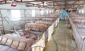Tái đàn chăn nuôi bảo đảm nguồn cung thực phẩm cuối năm: Chú trọng quản lý tốt dịch bệnh