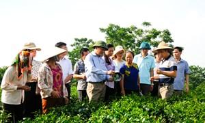 Sản xuất VietGap: Nâng cao giá trị chè Việt