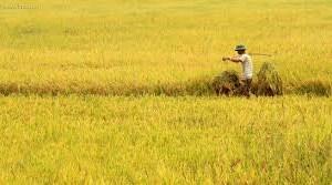 Kinh doanh lúa gạo: Tháo gỡ bất cập trong chính sách cho doanh nghiệp