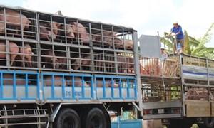 Trung Quốc giảm mua, giá lợn hơi rớt mạnh