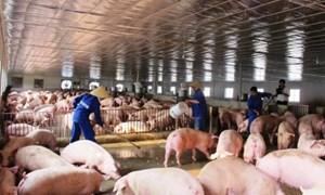 Giá thu mua lợn hơi vẫn tiếp tục xu hướng giảm