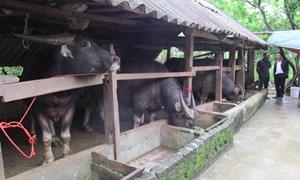 Lạng Sơn: Hiệu quả chăn nuôi trâu, bò bán chăn thả