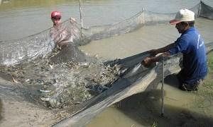 Ngành tôm Việt Nam: Bất ổn về giá thành và tính cạnh tranh