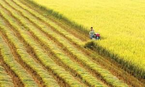 Trúng thầu xuất khẩu không đủ 'cứu' giá lúa giảm sâu