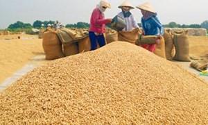 Thủ tướng chỉ đạo thực hiện ngay các giải pháp khắc phục tình trạng lúa gạo xuống giá