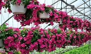 """Góc ban công rực rỡ với những loại hoa """"ai ngắm cũng phải lòng"""""""