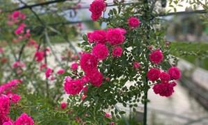 Lạc bước vào thung lũng hoa hồng lớn nhất Việt Nam tại Sa Pa