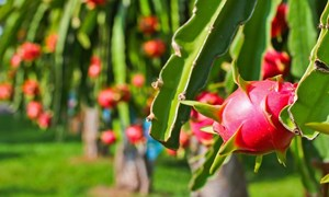 Hoa Kỳ - Thị trường tiềm năng của trái cây Việt Nam