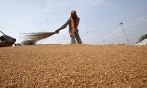 FAO: Giá lương thực thế giới tăng mạnh trong tháng 11