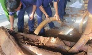 Hải quan phát hiện lô ngà voi nhập lậu thứ 6 qua cảng Cát Lái