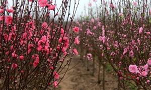 Đào Nhật Tân thấp thỏm, quất bonsai được mùa