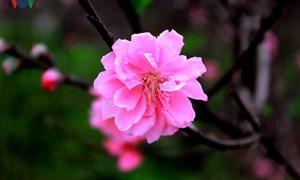 Ngắm vẻ đẹp dịu dàng của đào phai Nhật Tân