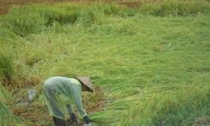Bồi thường bảo hiểm nông nghiệp tại một số địa phương thiệt hại do hai cơn bão số 7, số 8