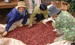 Cảnh báo gian lận thuế trong thu mua nông sản xuất khẩu